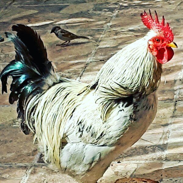 De l'extinction, par Doddie le coq de balcon